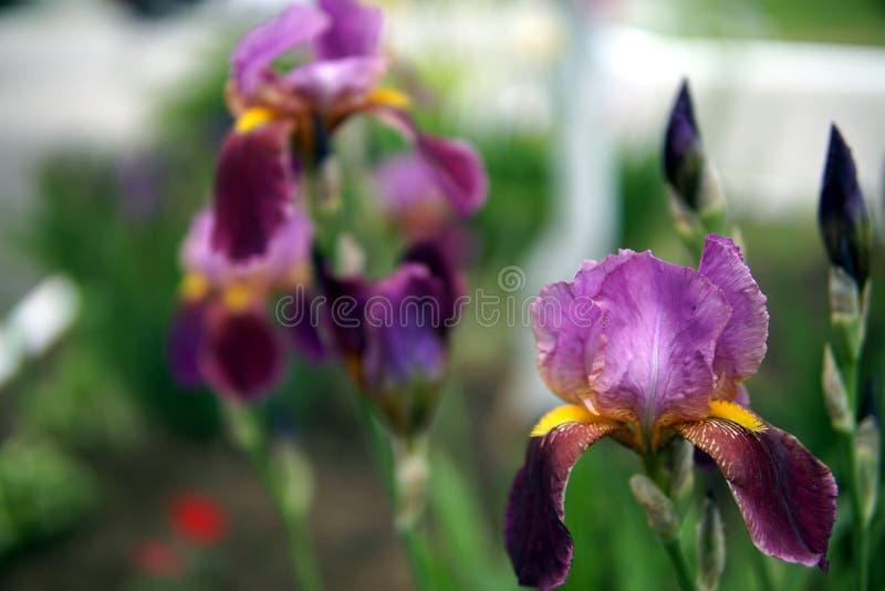 Iris flowers closeup. Beautiful flowers of purple Iris pseudacorus closeup stock images