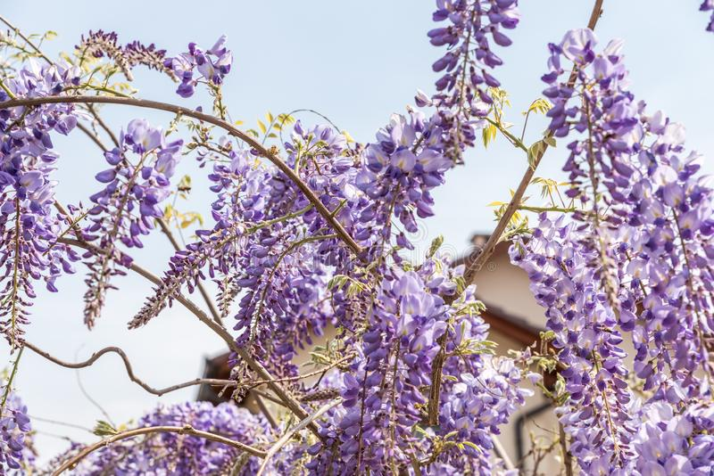 Beautiful flowers of purple Wisteria sinensis blooming and blossom tree with blue sky background close up selective focus stock image