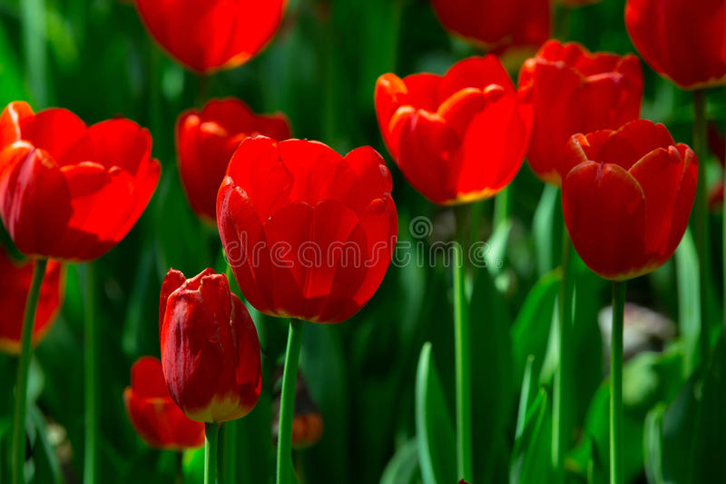 Beautiful flowersred flowersred tulips stock photo image of beautiful flowers grow in spring mightylinksfo