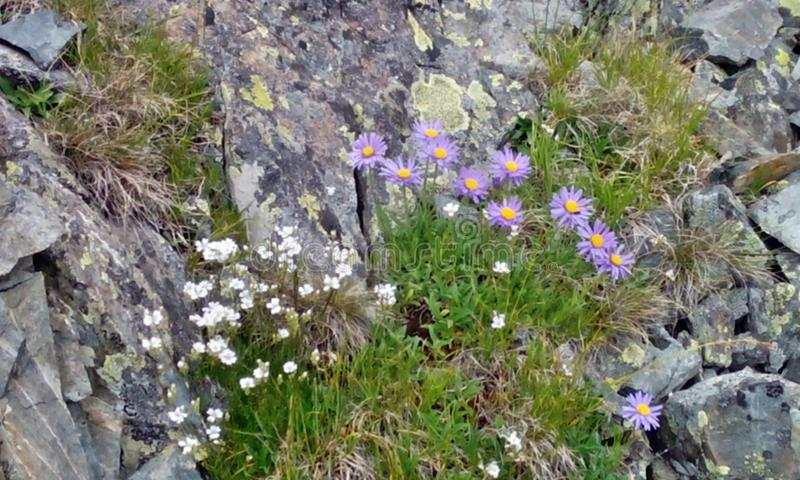 Beautiful flowers among the rocks stock photography