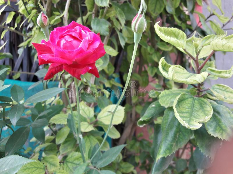 It is a beautiful flowers of rose red pink stock photography