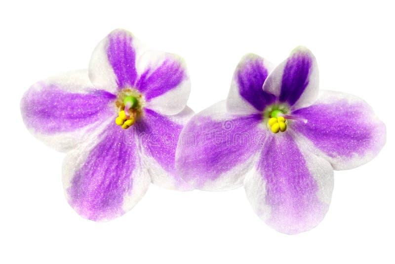 Download Beautiful Flowers Saintpaulia Stock Photo - Image: 12769350