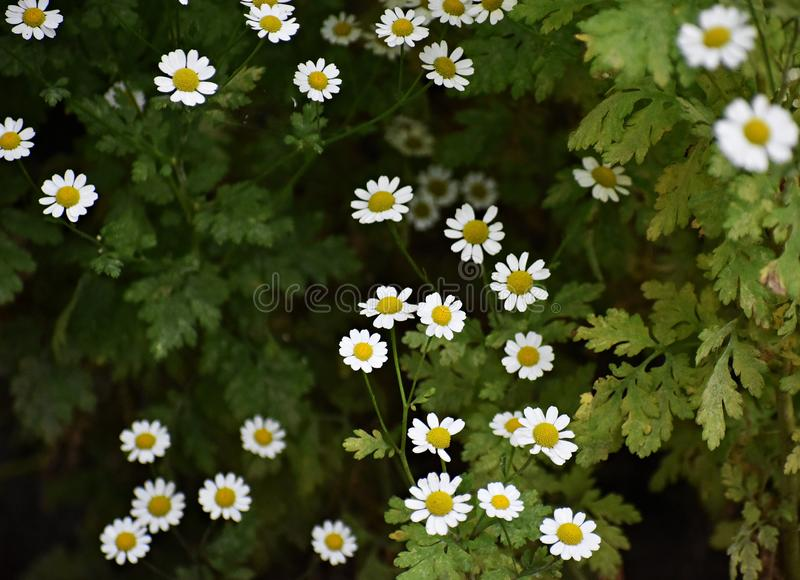 Beautiful flowers of  Tanacetum Parthenium growing in the garden. Tanacetum Parthenium, known as Feverfew or Bachelor`s buttons, is a flowering plant in the stock photography