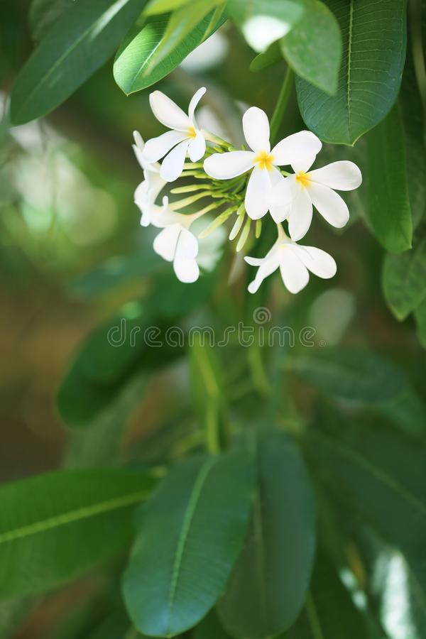 Beautiful flowers at tropical resort on sunny day. Beautiful white flowers at tropical resort on sunny day royalty free stock photography