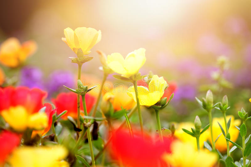 Download Beautiful Flowers In Various Colours In Early Sunset Stock Image - Image of flower, bright: 47659069