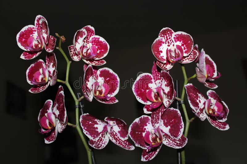 Beautiful flowers with very intense colors and color is pleasing to the eye. Orquidea stock photo
