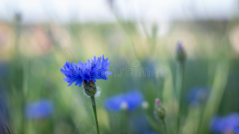 Beautiful flowers of a wolf on a green meadow on a warm summer day after the rain. Close up garden blossom cornflower background bright closeup color drop stock photo