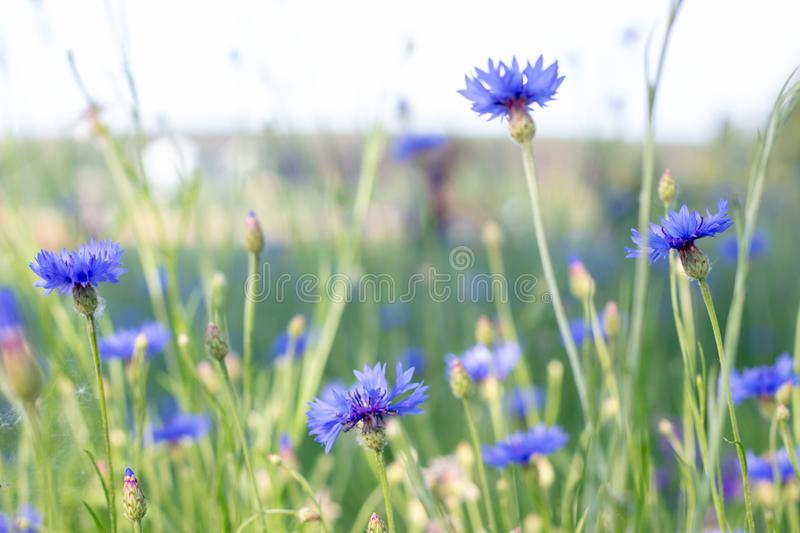 Beautiful flowers of a wolf on a green meadow on a warm summer day after the rain. Close up garden blossom cornflower background bright closeup color drop royalty free stock photo
