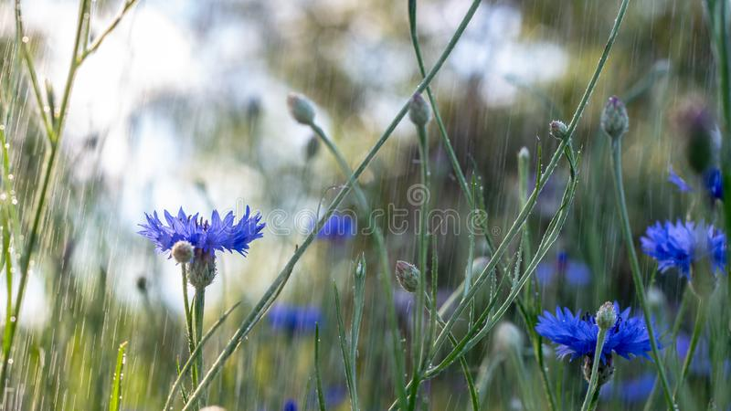 Beautiful flowers of a wolf on a green meadow on a warm summer day after the rain. Close up garden blossom cornflower background bright closeup color drop stock images