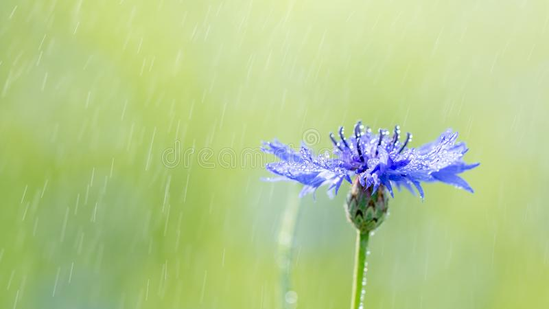 Beautiful flowers of a wolf on a green meadow on a warm summer day after the rain. Close up garden blossom cornflower background bright closeup color drop royalty free stock photography