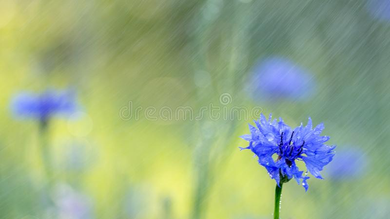 Beautiful flowers of a wolf on a green meadow on a warm summer day after the rain. Close up garden blossom cornflower background bright closeup color drop royalty free stock images