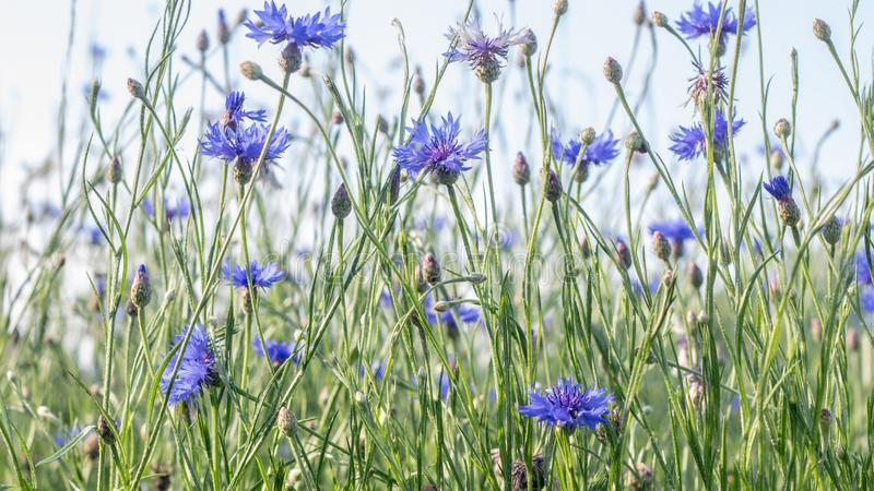 Beautiful flowers of a wolf on a green meadow on a warm summer day after the rain. Close up garden blossom cornflower background bright closeup color drop stock photos