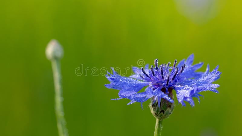 Beautiful flowers of a wolf on a green meadow on a warm summer day after the rain. Close up garden blossom cornflower background bright closeup color drop royalty free stock image