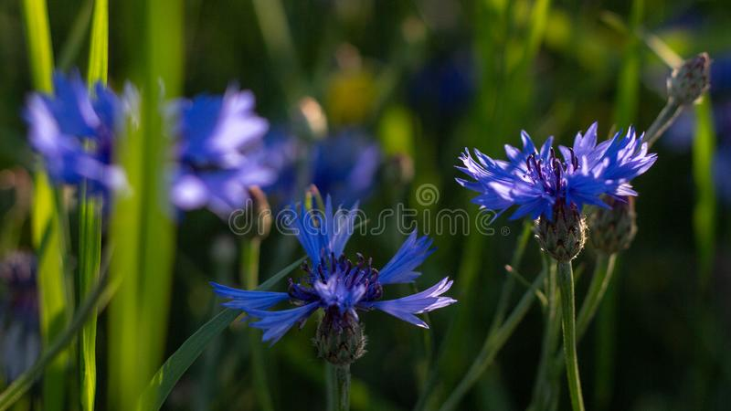 Beautiful flowers of a wolf on a green meadow on a warm summer day after the rain. Close up royalty free stock image