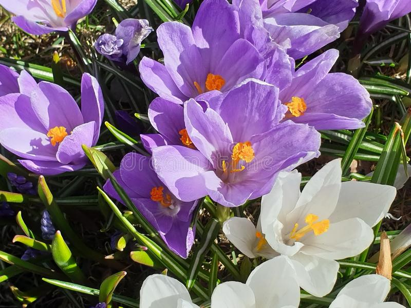 Beautiful  Flowers Wonderful Spring Crocus in City Park on green grass. Spring in air quotes ,in  park ,Spring Flowers Wonderful Crocus in City Park on green stock images
