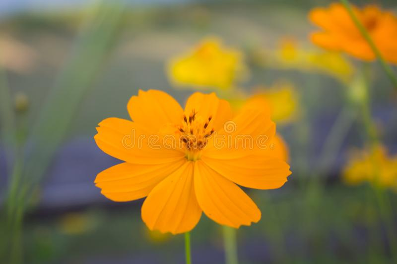 Beautiful flowers yellow cosmos in garden. Can be used as a background royalty free stock photo