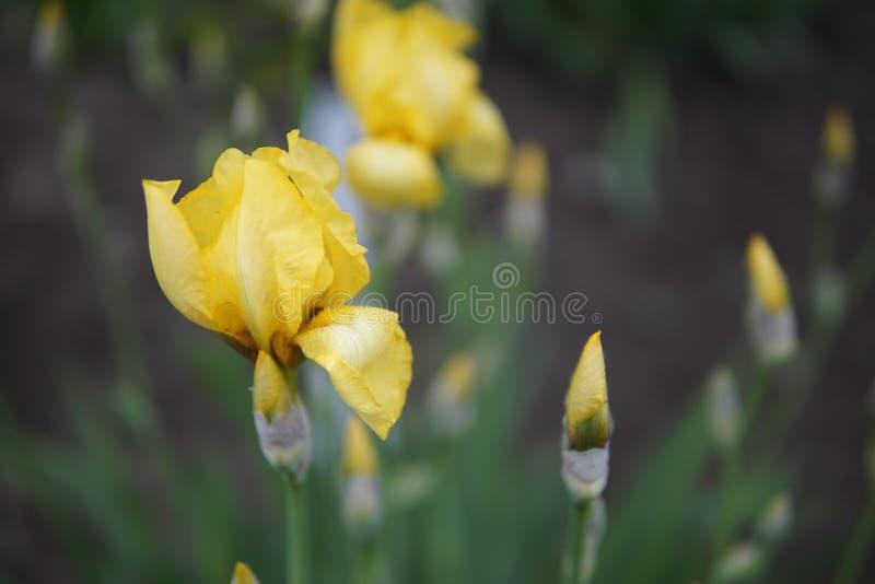 Iris flowers closeup. Beautiful flowers of yellow Iris pseudacorus closeup royalty free stock photos