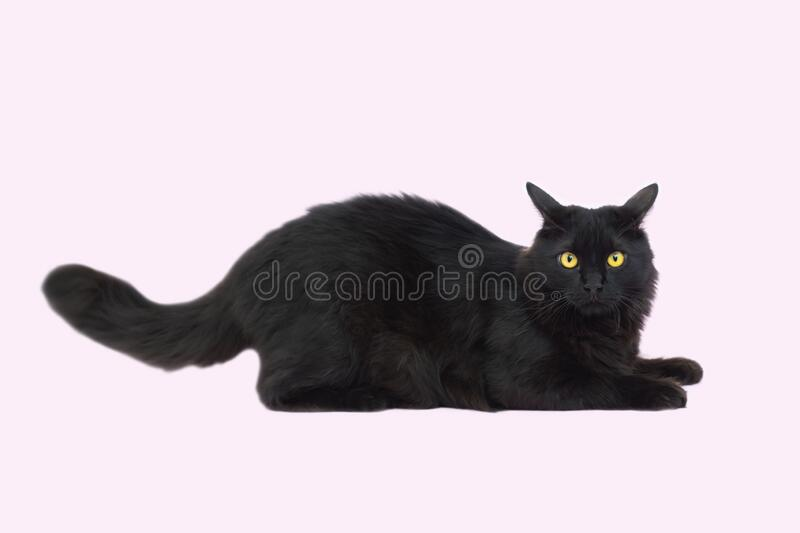 Beautiful fluffy black cat isolated on a pink background. Cat lies royalty free stock photo