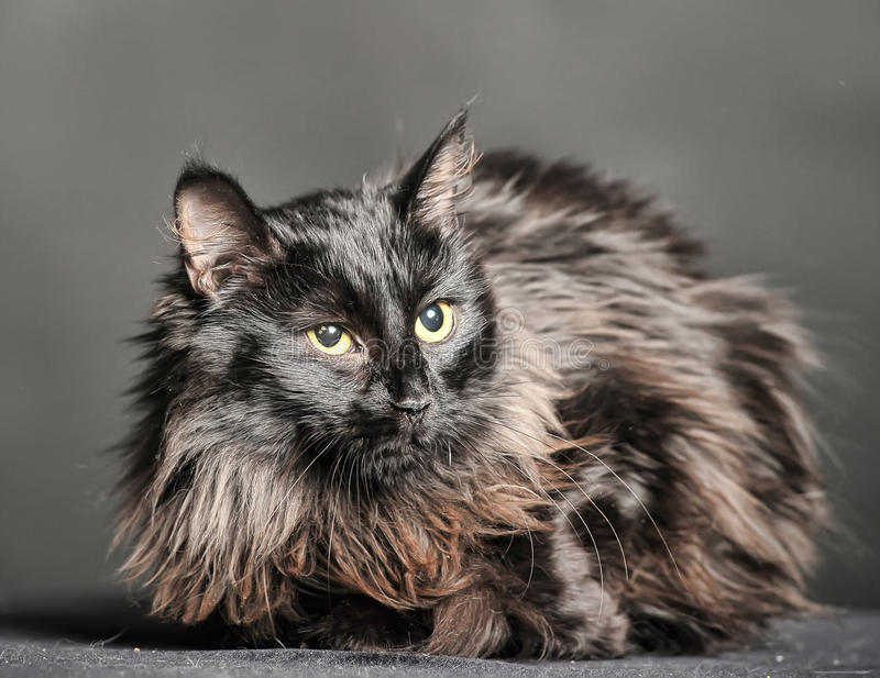 Beautiful fluffy black cat stock photography