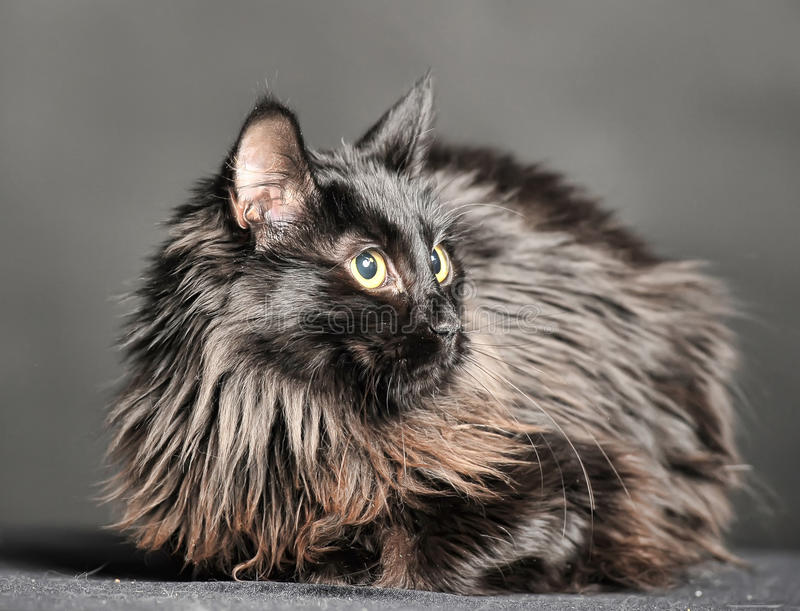 Beautiful fluffy black cat stock photos