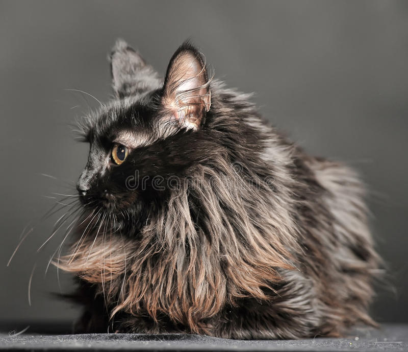 Beautiful fluffy black cat royalty free stock photography