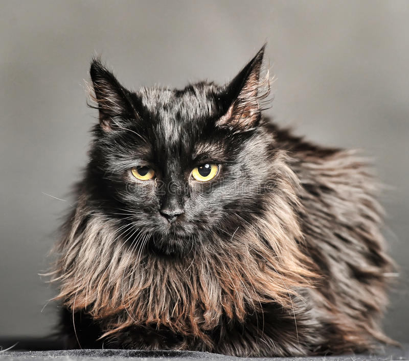 Beautiful fluffy black cat royalty free stock photos