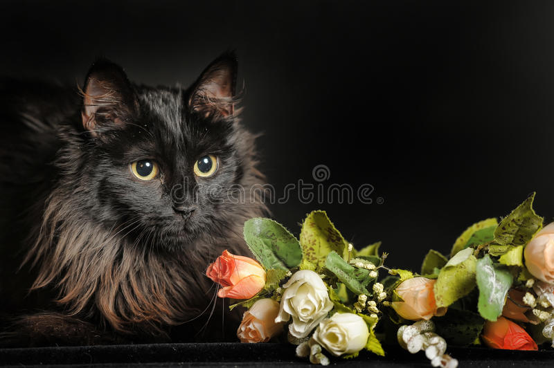 Beautiful fluffy black cat royalty free stock image
