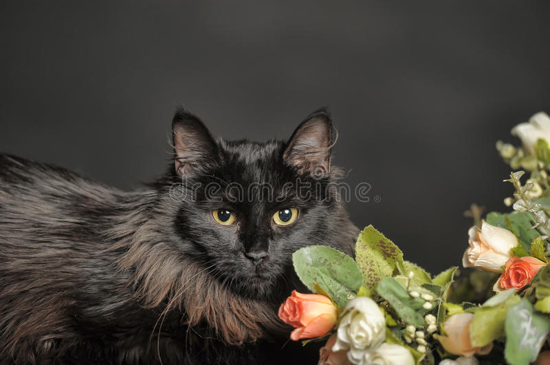 Beautiful fluffy black cat royalty free stock images
