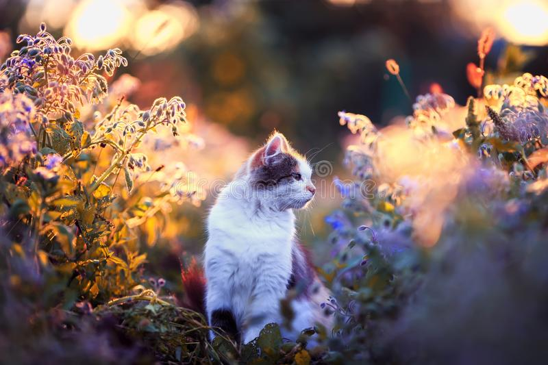 beautiful fluffy cat sits on the sunlit warm light meadow with bright blue and lilac flowers in the summer evening and royalty free stock images
