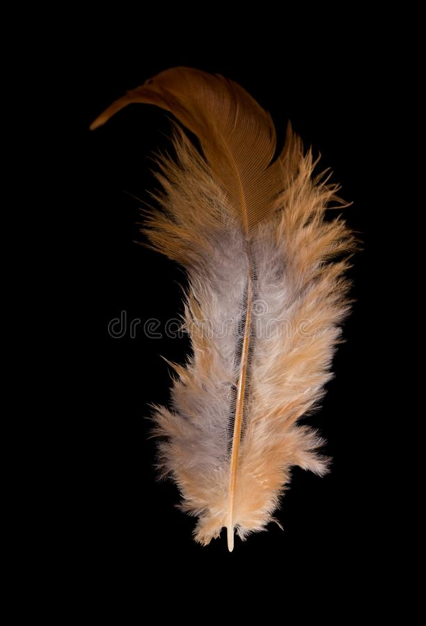 Feather domestic chicken. Beautiful fluffy feather domestic chicken close-up stock photography