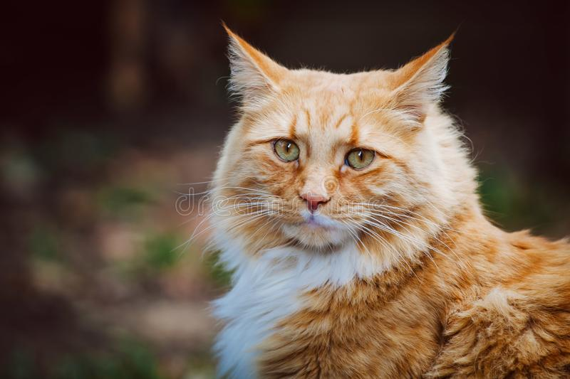 Ginger cat looking intensely at the viewer. Beautiful fluffy ginger cat looking intensely at the viewer - closeup stock image
