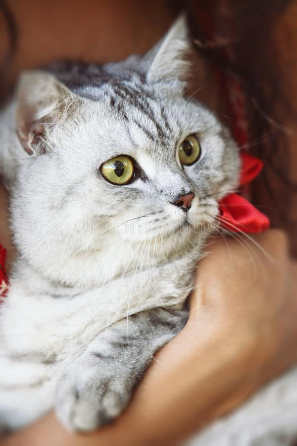 Beautiful fluffy gray cat close-up in the hands of a woman stock image