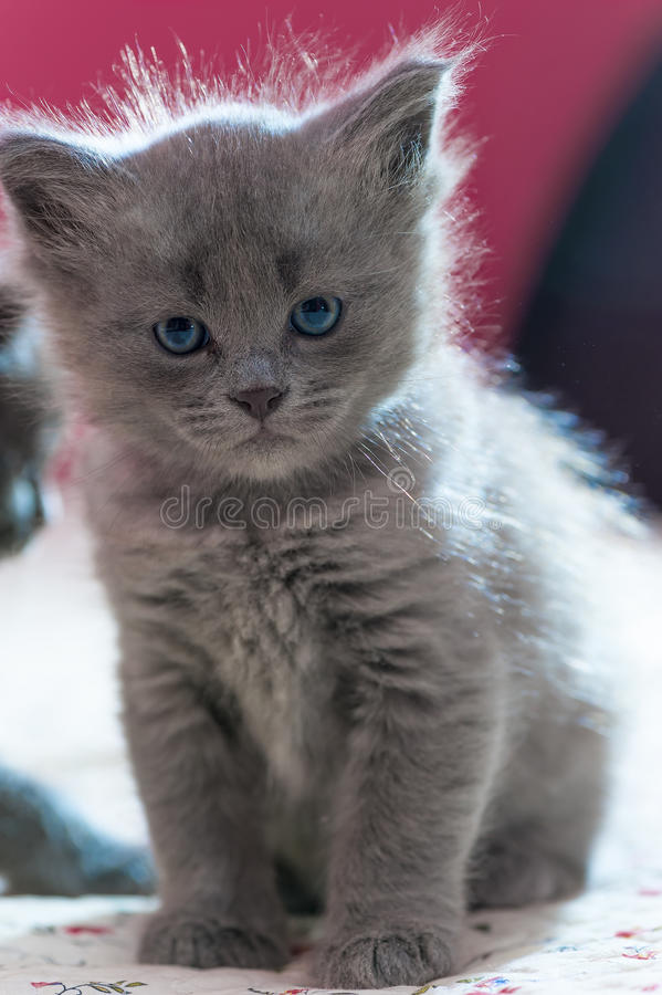 Beautiful fluffy gray kitten stock photos