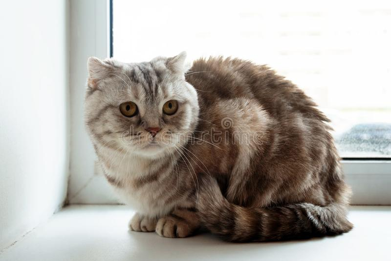 Beautiful fluffy gray tabby Scottish fold cat with yellow eyes. Beautiful fluffy gray tabby Scottish fold cat with yellow eyes is sitting near to the window stock photos