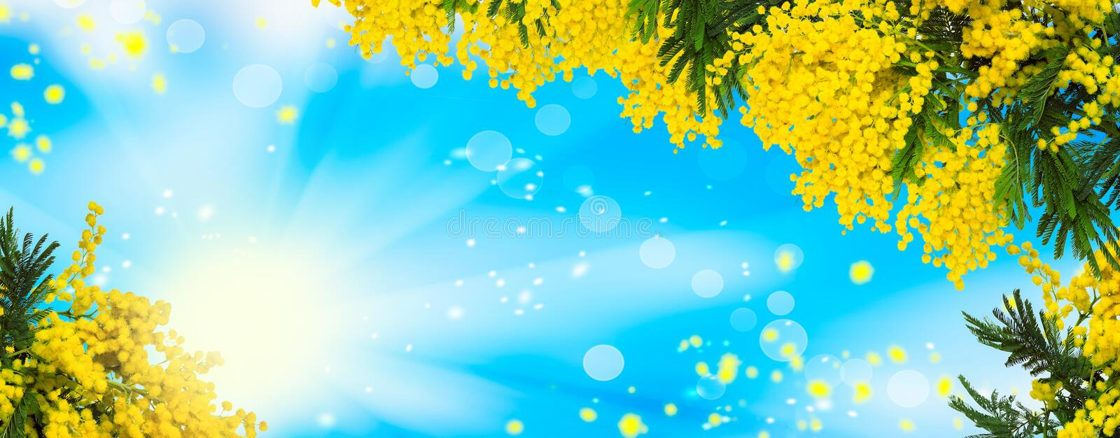 Beautiful fluffy mimosa flowers panorama background. Blooming spring mimosa tree nature over blue sky and sun. Greeting card templ. Ate. Shallow depth royalty free stock image