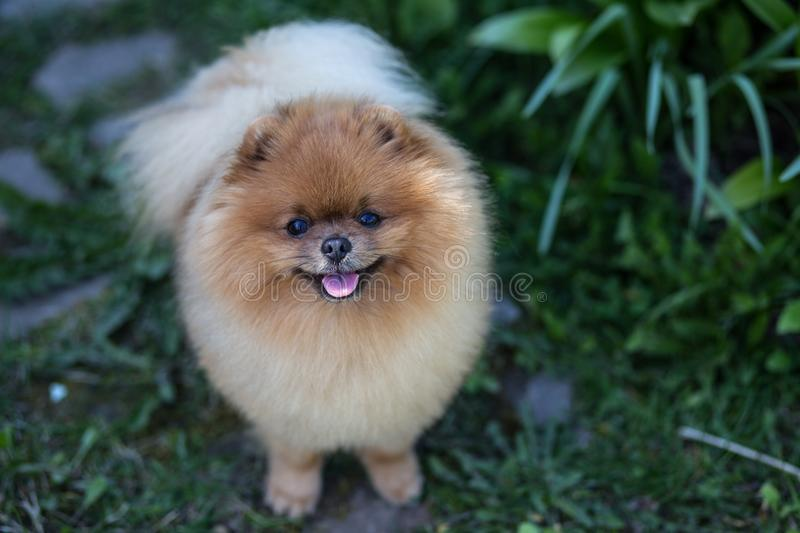 Fantastic Pomeranian Canine Adorable Dog - beautiful-fluffy-pomeranian-dog-spring-forest-flowers-adorable-dog-dog-forest-beautiful-fluffy-pomeranian-dog-104341619  Trends_455342  .jpg