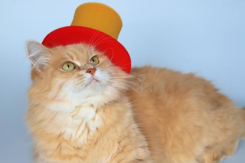 Beautiful fluffy red cat with big green eyes in a red clown hat royalty free stock photos