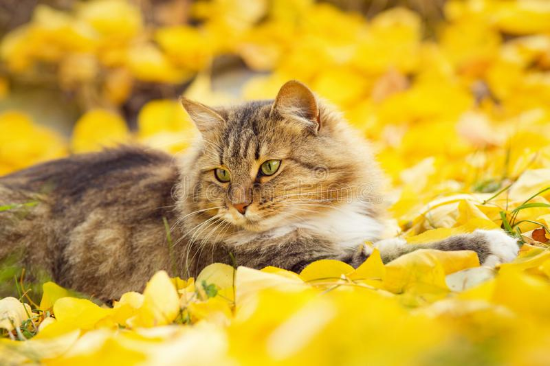 Beautiful fluffy Siberian cat lying on the fallen yellow foliage, pet walking on nature in the autumn. Portrait of a beautiful fluffy Siberian cat lying on the stock image