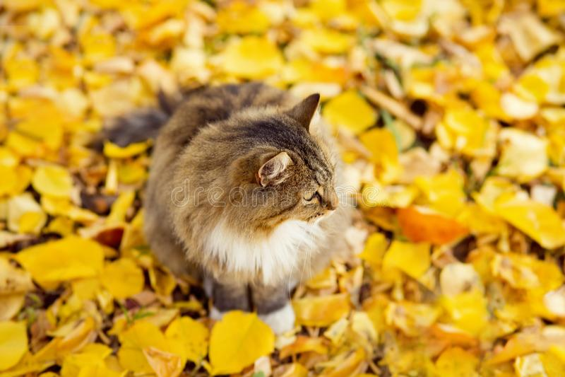 Beautiful fluffy Siberian cat lying on the fallen yellow foliage, pet walking on nature in the autumn, top view. Portrait of a beautiful fluffy Siberian cat royalty free stock photos
