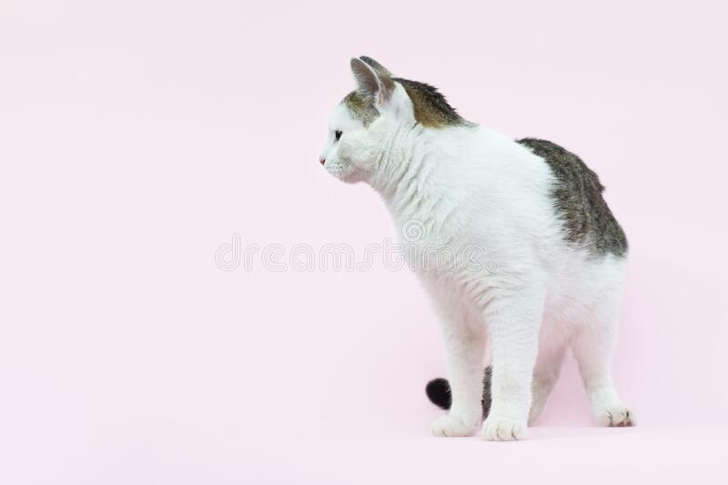 Beautiful fluffy spotted wite and grey cat isolated on a pink background stock image