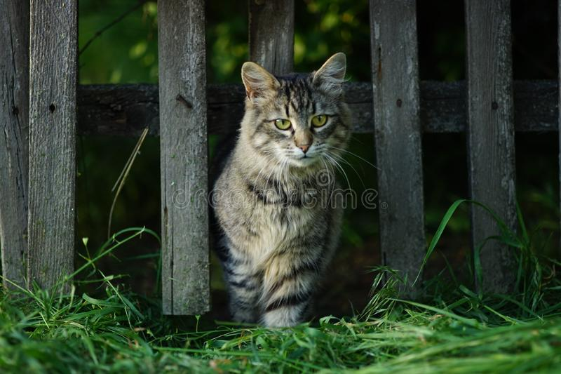 Beautiful fluffy tabby cat portrait, walks from a wooden old rural fence. Green grass of the garden, summer sunny day royalty free stock image