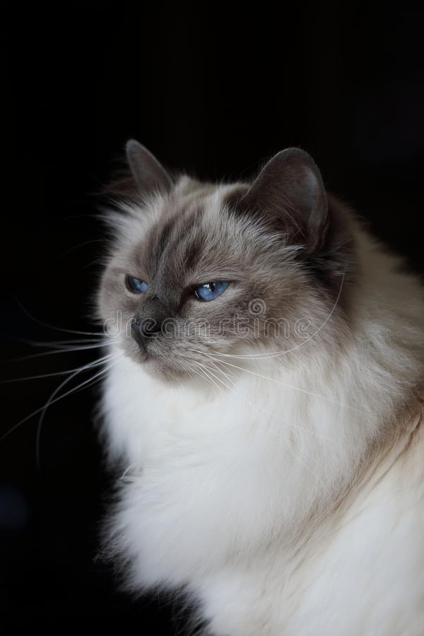 Beautiful fluffy white baby blue eyed cat on Black Background. A portrait of an adorable and very cute white furry cat with beautiful big baby blue eyes sitting royalty free stock image