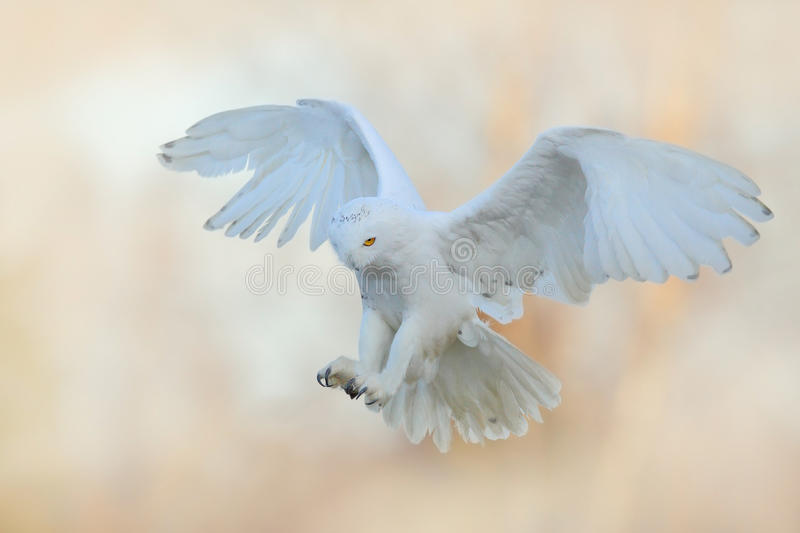 Beautiful fly of snowy owl. Snowy owl, Nyctea scandiaca, rare bird flying on the sky. Winter action scene with open wings, Finland stock photos
