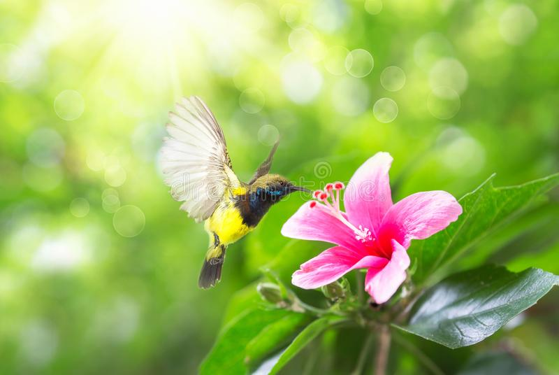 Beautiful flying Bird Olive-backed Sunbird, beautiful bird flying and eating nectar from the flowers stock photo