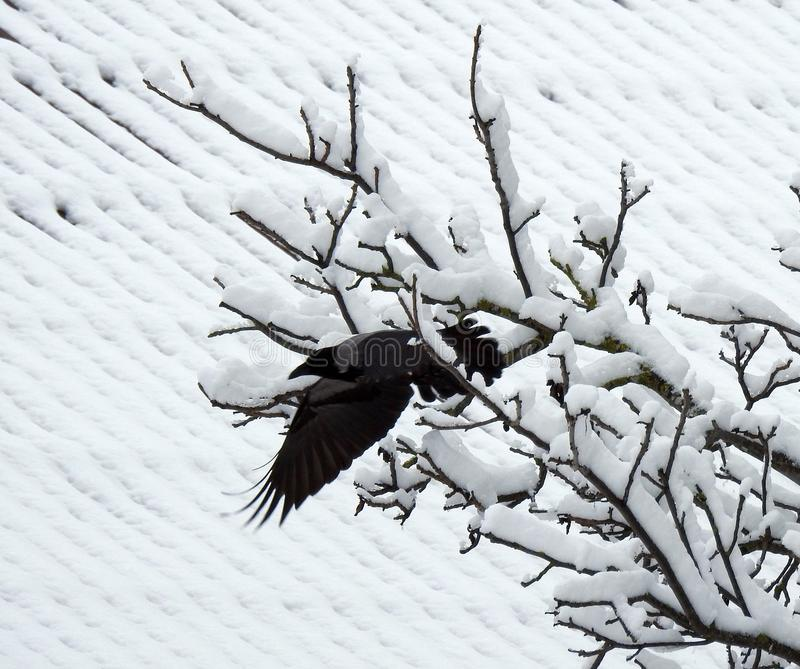 Flying crow bird from tree branch, Lithuania stock photo