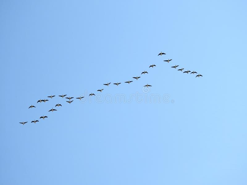 Flying goose birds in blue sky, Lithuania stock photos