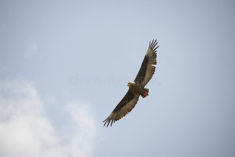 Beautiful flying hawk against a clear blue sky in Africa stock photography