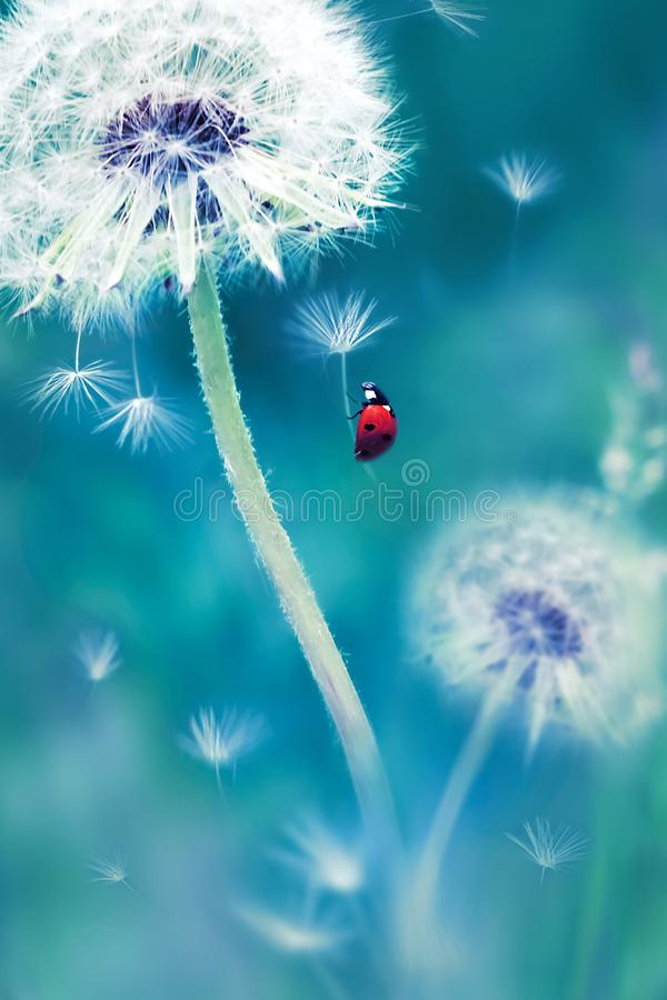 Beautiful flying red ladybug on a white dandelion. Fantastic magical image. Fabulous summer country. stock image