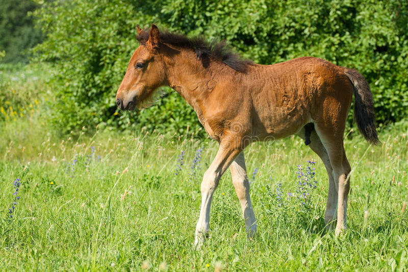 Download Beautiful foal stock image. Image of grass, equine, rural - 38782169
