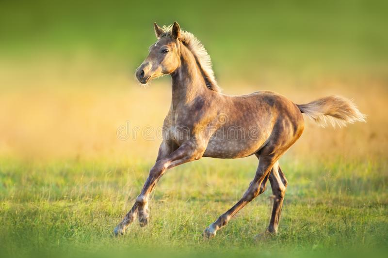 Beautiful foal run free stock photography